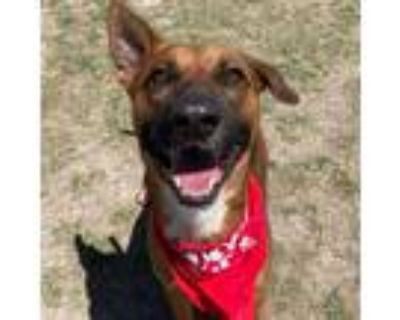 Adopt Chameleon a Brown/Chocolate Shepherd (Unknown Type) / Mixed dog in
