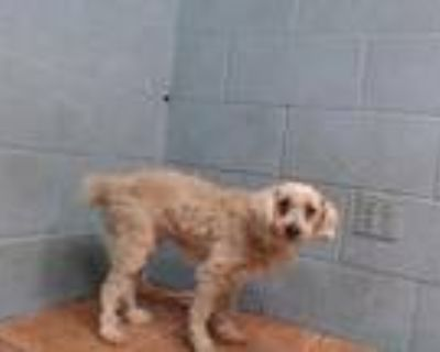 Adopt ABBY a White Poodle (Miniature) / Mixed dog in Downey, CA (31955608)