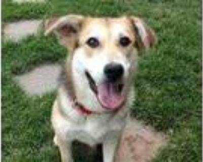 Adopt Nikki a Black German Shepherd Dog / Mixed dog in Boulder, CO (31667554)