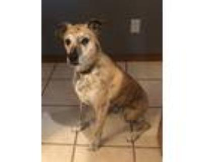 Adopt Oliver a Brindle Boxer / Labrador Retriever / Mixed dog in Norman