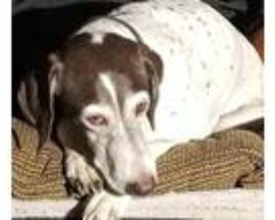 Adopt Foxy a White - with Brown or Chocolate German Shorthaired Pointer / Mixed