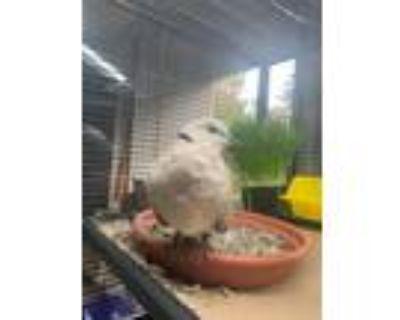 Adopt Sebastian a Brown Dove bird in San Francisco, CA (30370958)