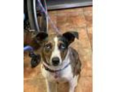 Adopt Misty a Brown/Chocolate - with Black Catahoula Leopard Dog / Mixed dog in