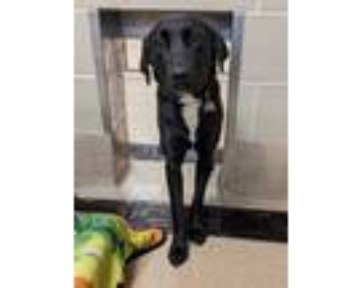 Adopt Angel a Black Labrador Retriever / Mixed dog in Newport News