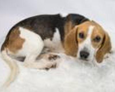 Adopt Dallas a Beagle
