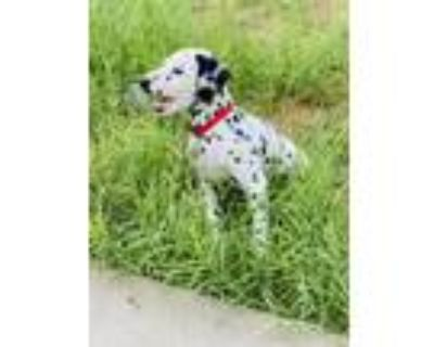 Adopt M a Black - with White Dalmatian / Mixed dog in El Paso, TX (32059433)
