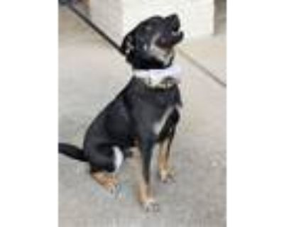 Adopt Lucki a Australian Cattle Dog / Blue Heeler, Manchester Terrier