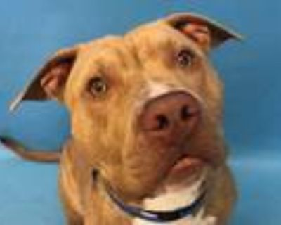 Adopt Julio a Tan/Yellow/Fawn American Pit Bull Terrier / Mixed dog in Woodbury