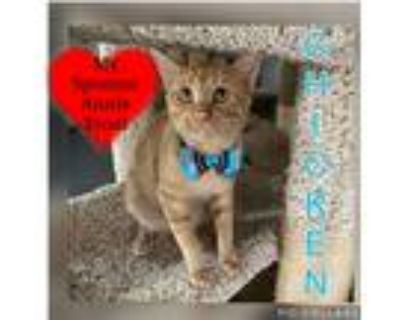 Adopt Chicken a Orange or Red Tabby Domestic Shorthair / Mixed cat in San Leon