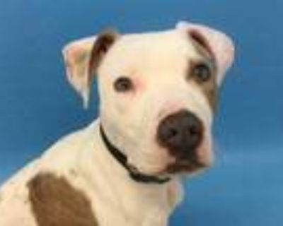 Adopt Remi a White American Pit Bull Terrier / Mixed dog in Woodbury