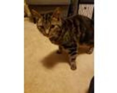 Adopt Hallie a Brown Tabby American Shorthair / Mixed (short coat) cat in