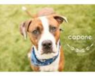 Adopt Capone a Brown/Chocolate Boxer / Hound (Unknown Type) / Mixed dog in