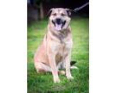 Adopt PROSHA a German Shepherd Dog, Labrador Retriever