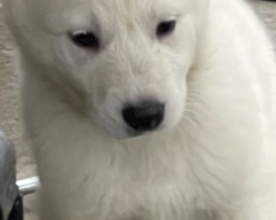 Great Pyrenees and White German Shepherd Puppies