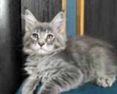 New Maine Coon Kittens Available
