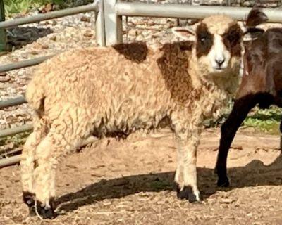 Harlequin Sheep