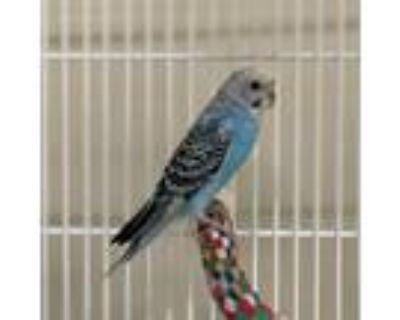 Adopt Barnaby a Blue Budgie bird in Burlingame, CA (31471537)