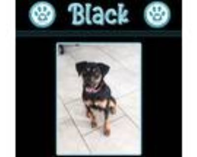 Adopt Black 050121 a Black - with Tan, Yellow or Fawn Beagle / German Pinscher