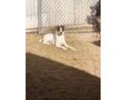 Adopt Oreo a Black - with White American Pit Bull Terrier / Mixed dog in Indio
