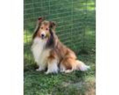 Adopt GEORGIA a Shetland Sheepdog / Sheltie