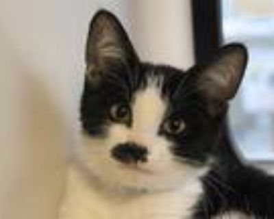 Adopt a White (Mostly) Domestic Shorthair / Mixed (short coat) cat in San Jose