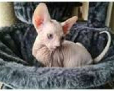 fully vaccinated sphynx kittens for sale