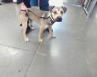 Adopt GUINNESS a Black - with Tan, Yellow or Fawn German Shepherd Dog /