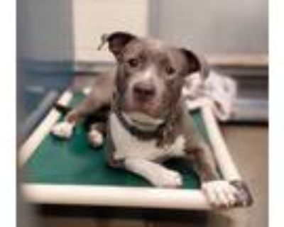 Adopt Brittany - Phoenix area (COURTESY POST) a Staffordshire Bull Terrier