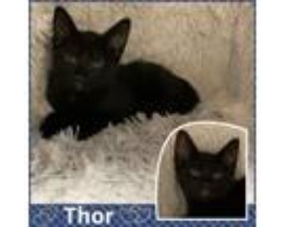 Adopt Thor a All Black Domestic Shorthair (short coat) cat in Jeffersonville