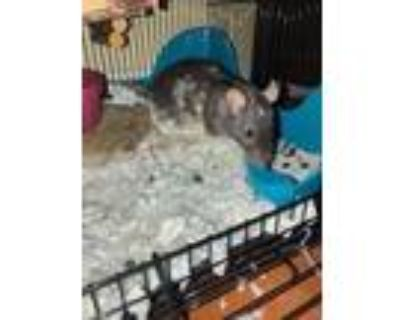 Adopt Mooey & Mari a Rat