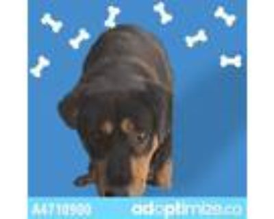 Adopt JEZEBEL a Black - with Tan, Yellow or Fawn Rottweiler / Mixed dog in