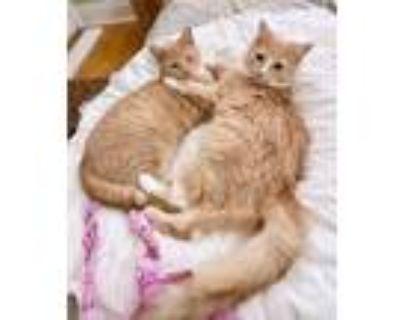 Adopt Kittens - Nicholas & Thomas a Domestic Short Hair