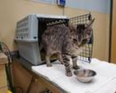 Adopt ZIPPO a Gray, Blue or Silver Tabby Domestic Shorthair / Mixed (short coat)