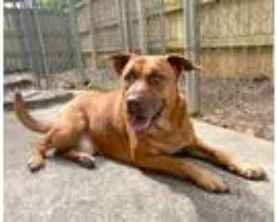Adopt Mason a Red/Golden/Orange/Chestnut - with White Labrador Retriever /