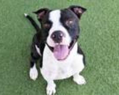 Adopt LEO a Black - with White American Pit Bull Terrier / Mixed dog in Phoenix