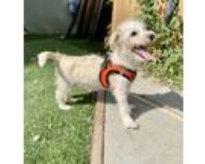 Adopt Tuscany a Poodle, Terrier