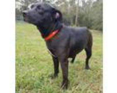 Adopt Courtesy - Sweetie a Black Labrador Retriever / Mixed dog in Mobile