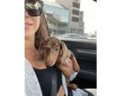 Adopt Danni a Brown/Chocolate - with Tan Dachshund / Mixed dog in Los Angeles