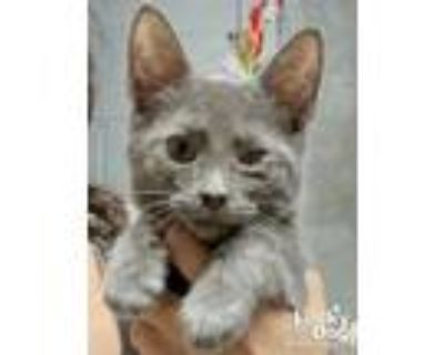 Adopt Quiggly a Domestic Short Hair