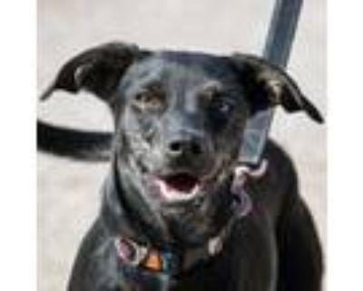 Adopt Skylar a Black Labrador Retriever, Whippet