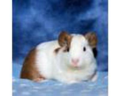 Adopt Sarabi a Guinea Pig