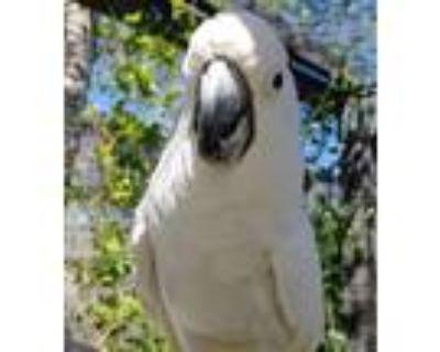 Adopt Sumo Aka Goliath a Cockatoo