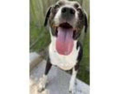 Adopt Oreo a Black Labrador Retriever / Mixed dog in Newport News, VA (31120058)
