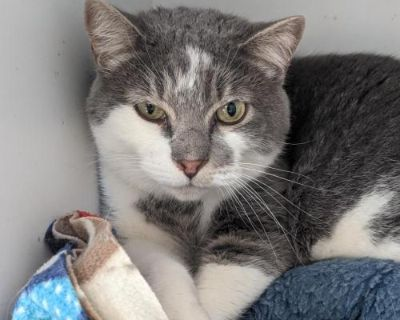 Male Domestic Short Hair named Florian available for adoption