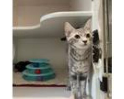 Adopt Pearl a Gray or Blue Domestic Shorthair / Mixed cat in Cumming