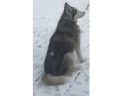 Adopt Ole a Gray/Silver/Salt & Pepper - with White Husky / Mixed dog in Overland