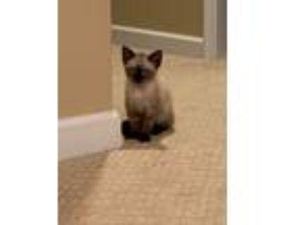 Adopt Puma a Siamese, Domestic Short Hair