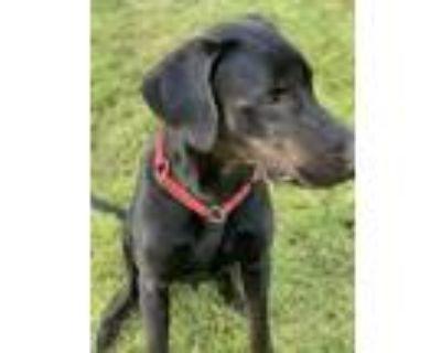 Adopt Maui a Black Labrador Retriever, Great Dane