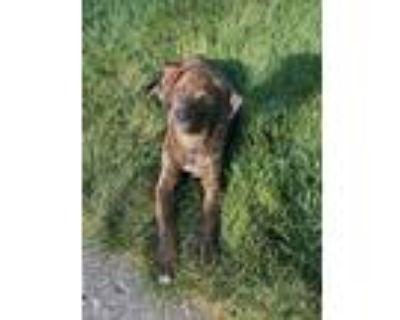 Adopt Claire a Brindle Doberman Pinscher / Terrier (Unknown Type