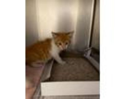 Adopt Ampersand a Domestic Short Hair